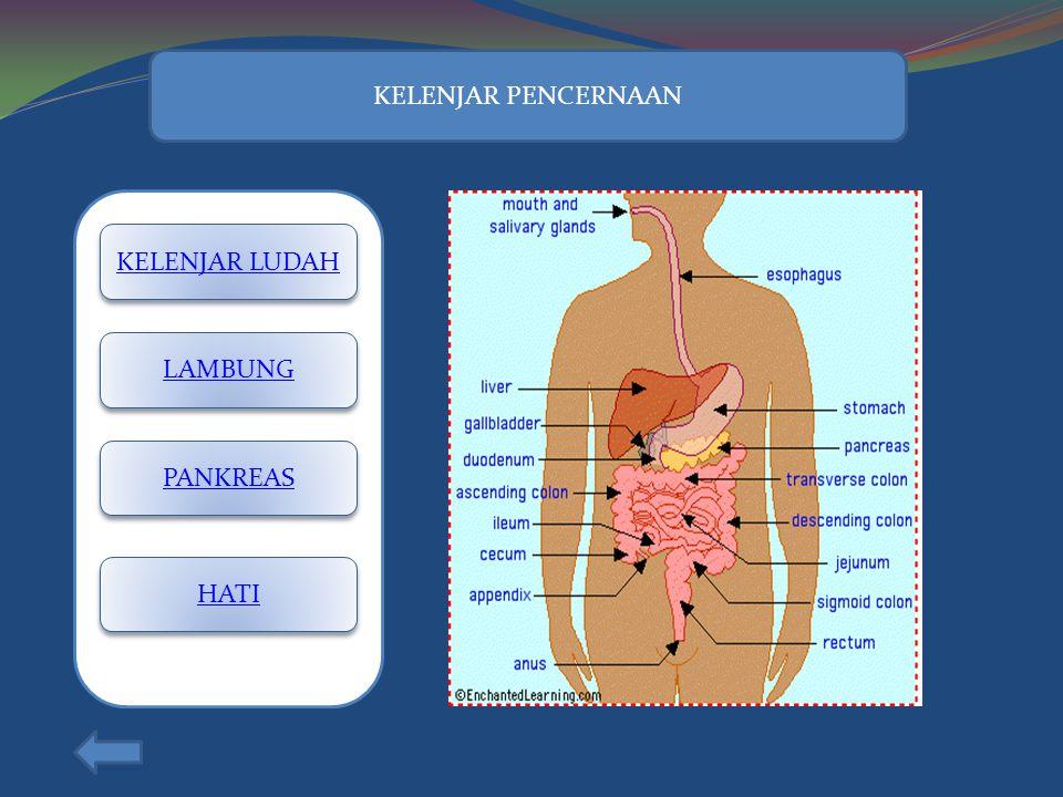 Pada anus terdapat otot Sfingter anus yang berupa otot polos dan lurik Jika otot sfingter berkontraksi, maka akan terjadi proses Defekasi, yakni penge