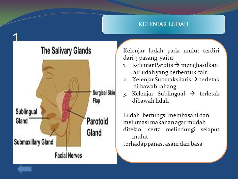 1 KELENJAR LUDAH Kelenjar ludah pada mulut terdiri dari 3 pasang, yaitu; 1.Kelenjar Parotis  menghasilkan air udah yang berbentuk cair 2.