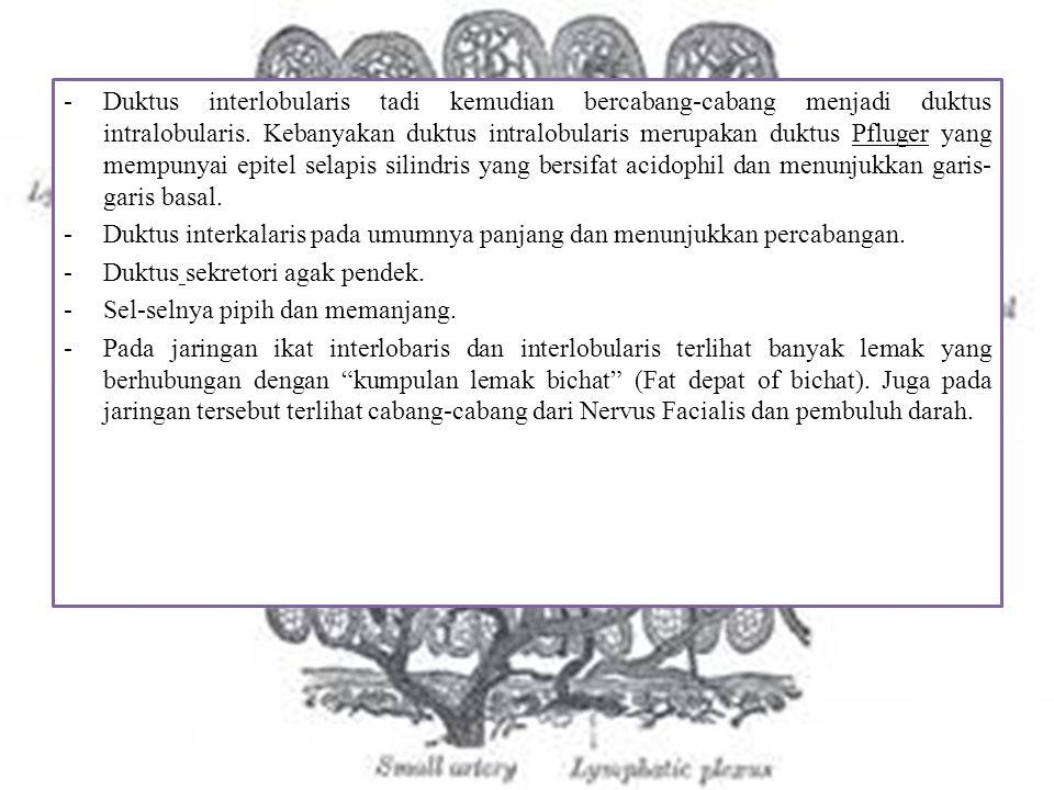 -Duktus interlobularis tadi kemudian bercabang-cabang menjadi duktus intralobularis. Kebanyakan duktus intralobularis merupakan duktus Pfluger yang me