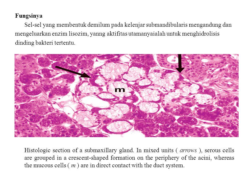 Fungsinya Sel-sel yang membentuk demilum pada kelenjar submandibularis mengandung dan mengeluarkan enzim lisozim, yanng aktifitas utamanyaialah untuk