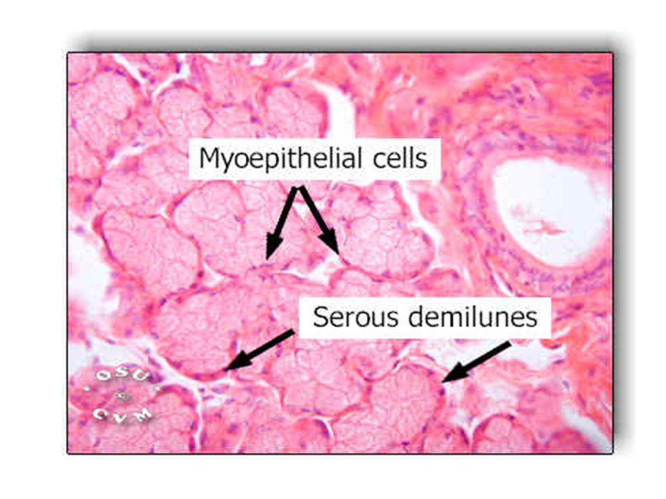 Serous-type acini of a parotid gland, with dense secretory granules.