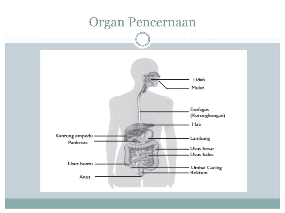 Saluran cerna Mulut (oris) Tenggorokan/ faring/ tekak Kerongkongan/ Esofagus Lambung (ventrikulus) Usus halus (intestinum minor), terdiri dari : Duodenum (usus 12 jari), Jejenum dan Ileum Usus besar (intestinum mayor), terdiri dari : Sekum, Kolon asendens, Kolon transversum, Kolon desendens, Kolon sigmoid Rektum Anus Organ Pencernaan Tambahan: Gigi/ geligi Lidah Kelenjar ludah Kandung empedu Hati Pankreas
