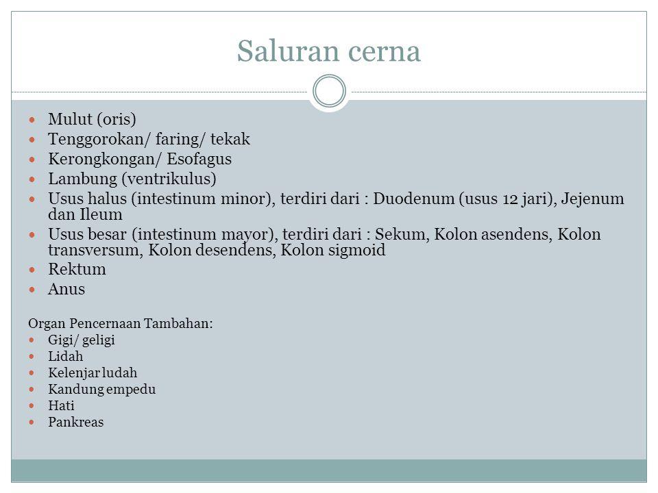 Duodenum Duodenum = usus 12 jari.Panjangnya ± 25 cm.