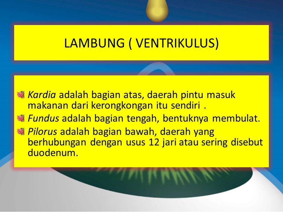 LAMBUNG ( VENTRIKULUS) Kardia adalah bagian atas, daerah pintu masuk makanan dari kerongkongan itu sendiri.