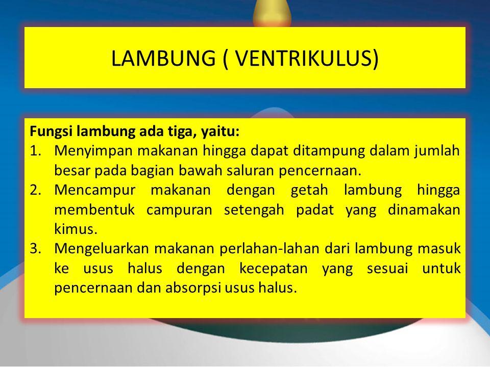 LAMBUNG ( VENTRIKULUS) Fungsi lambung ada tiga, yaitu: 1.Menyimpan makanan hingga dapat ditampung dalam jumlah besar pada bagian bawah saluran pencernaan.