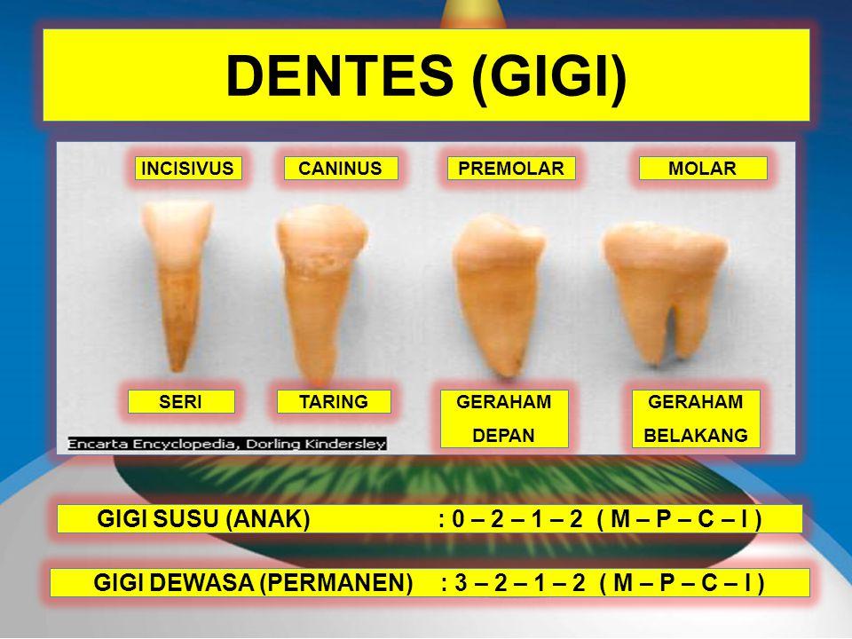 DENTES (GIGI) INCISIVUSCANINUSPREMOLARMOLAR GIGI SUSU (ANAK): 0 – 2 – 1 – 2 ( M – P – C – I ) GIGI DEWASA (PERMANEN) : 3 – 2 – 1 – 2 ( M – P – C – I ) SERITARINGGERAHAM DEPAN GERAHAM BELAKANG