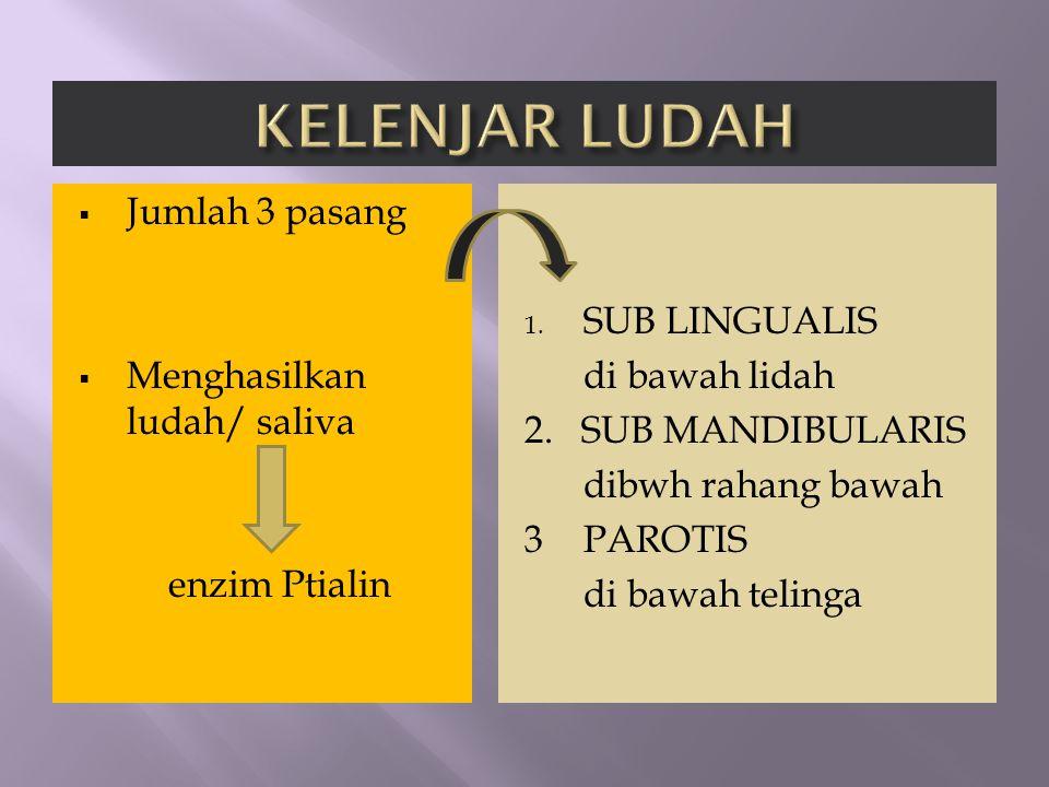  Jumlah 3 pasang  Menghasilkan ludah/ saliva enzim Ptialin 1. SUB LINGUALIS di bawah lidah 2. SUB MANDIBULARIS dibwh rahang bawah 3PAROTIS di bawah