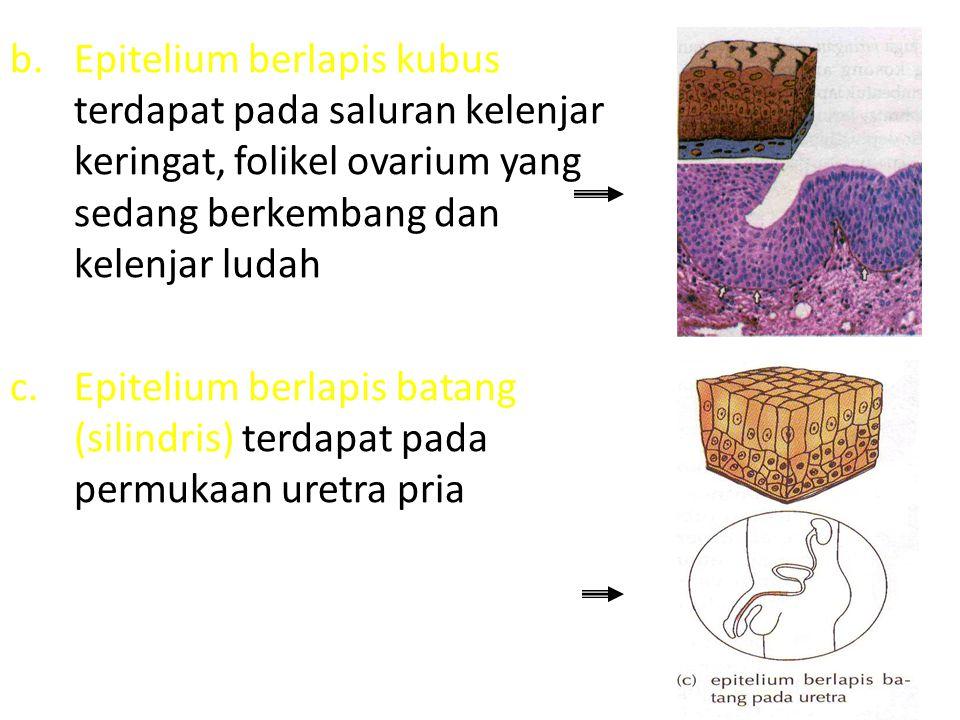 b.Epitelium berlapis kubus terdapat pada saluran kelenjar keringat, folikel ovarium yang sedang berkembang dan kelenjar ludah c.Epitelium berlapis bat
