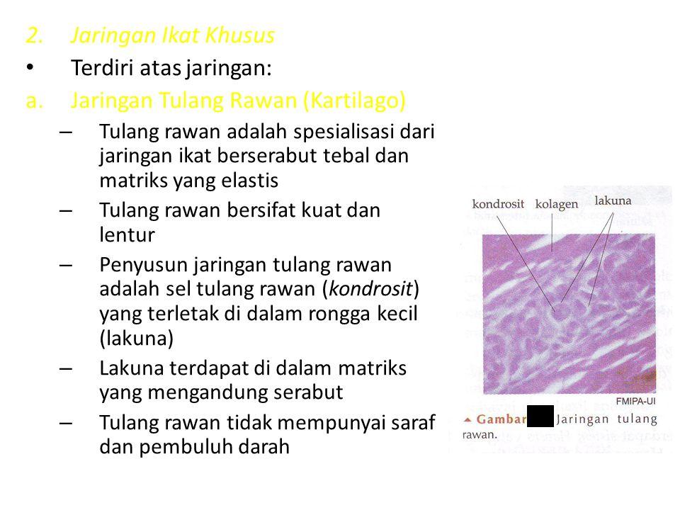 2.Jaringan Ikat Khusus Terdiri atas jaringan: a.Jaringan Tulang Rawan (Kartilago) – Tulang rawan adalah spesialisasi dari jaringan ikat berserabut teb