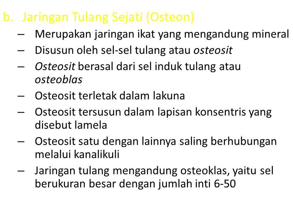 b.Jaringan Tulang Sejati (Osteon) – Merupakan jaringan ikat yang mengandung mineral – Disusun oleh sel-sel tulang atau osteosit – Osteosit berasal dar