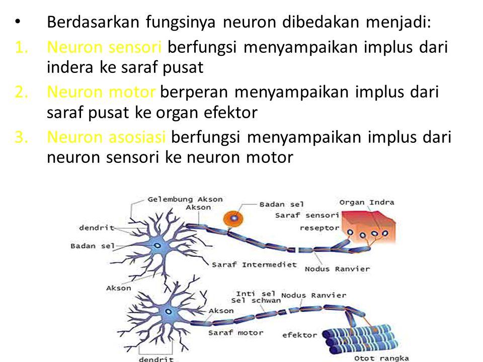 Berdasarkan fungsinya neuron dibedakan menjadi: 1.Neuron sensori berfungsi menyampaikan implus dari indera ke saraf pusat 2.Neuron motor berperan meny