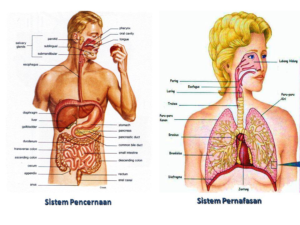 Sistem Pencernaan Sistem Pernafasan
