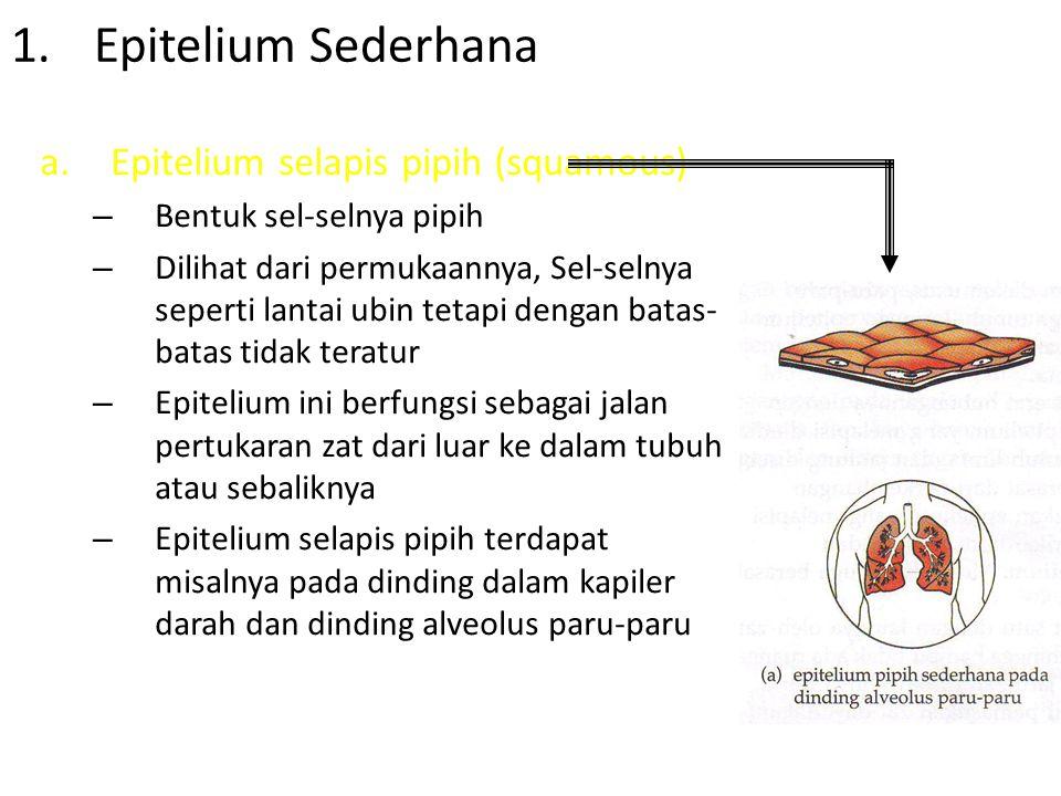 a.Epitel selapis kuboid (cuboidal) – Berbentuk seperti kubus – Dilihat dari permukaannya, Sel-selnya berbentuk poligonal – Contohnya, epitelium kubus pada permukaan ovarium, kelenjar tiroid, tubulus ginjal Epitel selapis kuboid