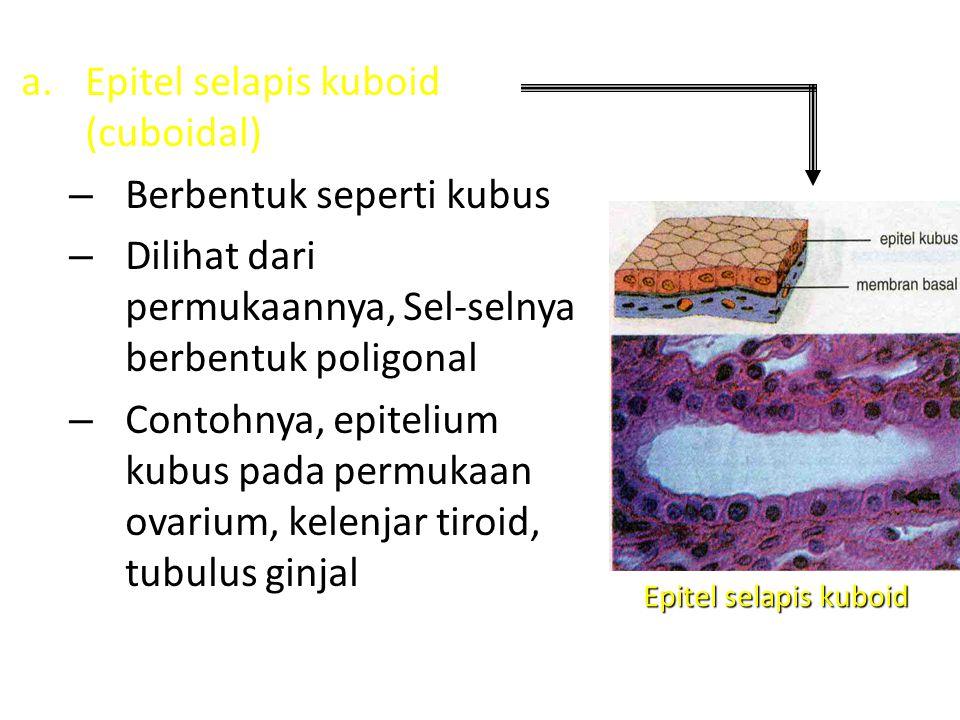 c.Epitelium selapis batang (silindris) – Berbentuk seperti batang – Permukaannya terlihat seperti epitelium kubus, tetapi pada potongan tegak lurus terlihat sel- sel yang tinggi – Ada yang memiliki silia di permukaannya, seperti yang terdapat pada oviduk (saluran telur) – Ada yang tidak memiliki silia, misalnya pada dinding sebelah dalam usus dan kandung empedu Epitel silindris bersilia