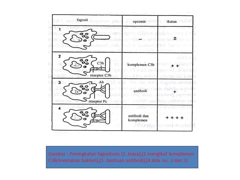 Gambar : Peningkatan fagositosis (1. biasa),(2.mengikat komplemen C3B/memakan bakteri),(3. bantuan antibodi),(4.Ada no. 2 dan 3)