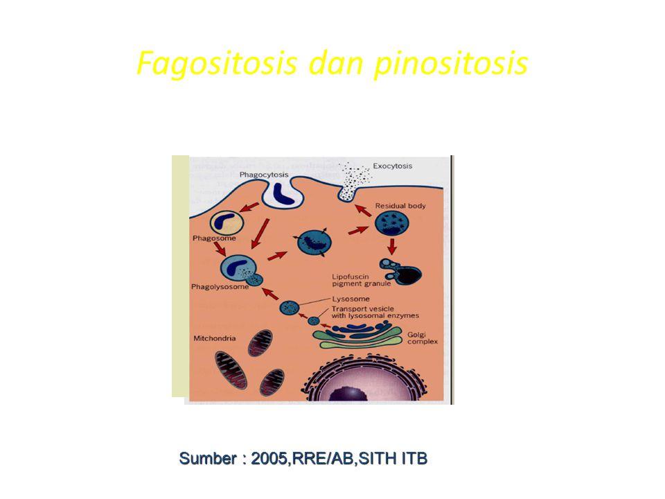 Fagositosis dan pinositosis Sumber : 2005,RRE/AB,SITH ITB
