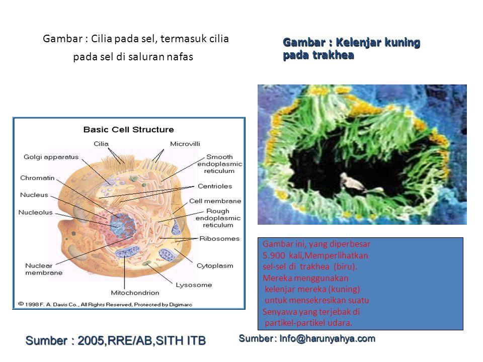 Gambar : Cilia pada sel, termasuk cilia pada sel di saluran nafas Gambar : Kelenjar kuning pada trakhea Gambar ini, yang diperbesar 5.900 kali,Memperl