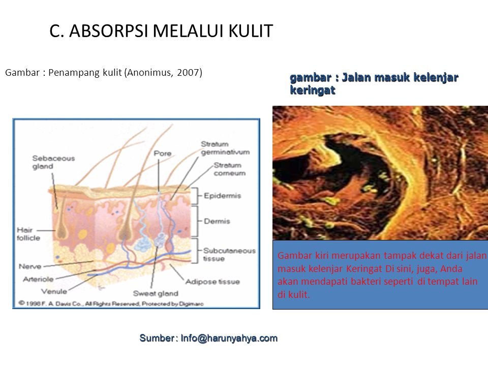 C. ABSORPSI MELALUI KULIT Gambar : Penampang kulit (Anonimus, 2007) gambar : Jalan masuk kelenjar keringat Gambar kiri merupakan tampak dekat dari jal