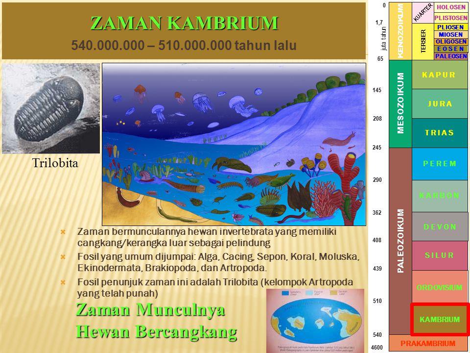 ZAMAN KAMBRIUM  Zaman bermunculannya hewan invertebrata yang memiliki cangkang/kerangka luar sebagai pelindung  Fosil yang umum dijumpai: Alga, Caci