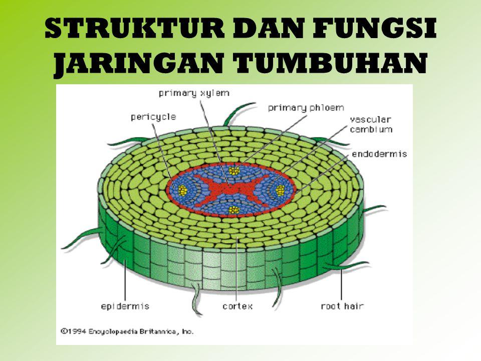 JARINGAN GABUS / PERIDERMA Jaringan gabus berasal dari Felogen Bentuk sel segi empat/segi banyak dinding sel gabus mengandung suberin( selulose berlemak) Merupakan jaringan pelindung yang dibentuk secara sekunder.