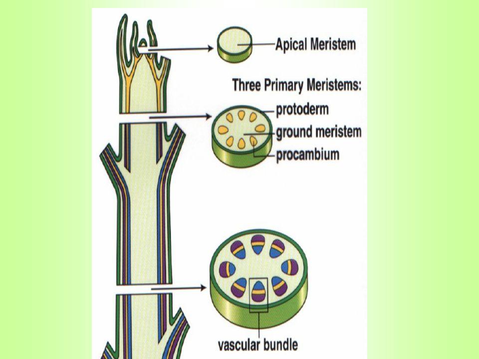 FLOEM PENYUSUN: 1.sel pembuluh tapis 2.sel pengiring 3.