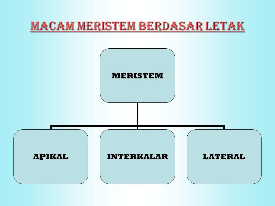 MACAM MERISTEM BERDASAR LETAK MERISTEM APIKALINTERKALARLATERAL