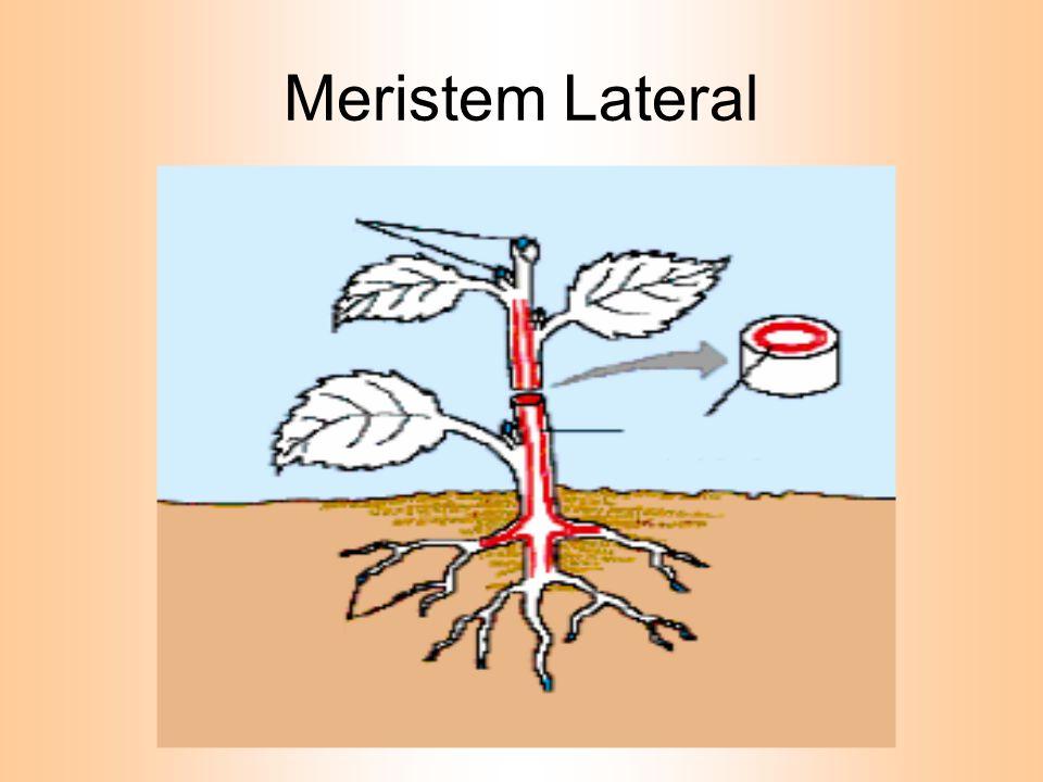 KOLENKIM Sel-selnya hidup Dinding sel mengalami penebalan yang tidak merata ( pada sudut-sudut sel ) Dinding sel mengandung zat pektin,hemi- selulosa dan selulosa.