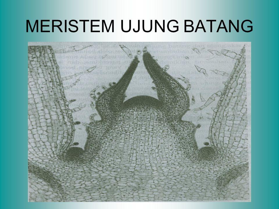 MERISTEM UJUNG BATANG