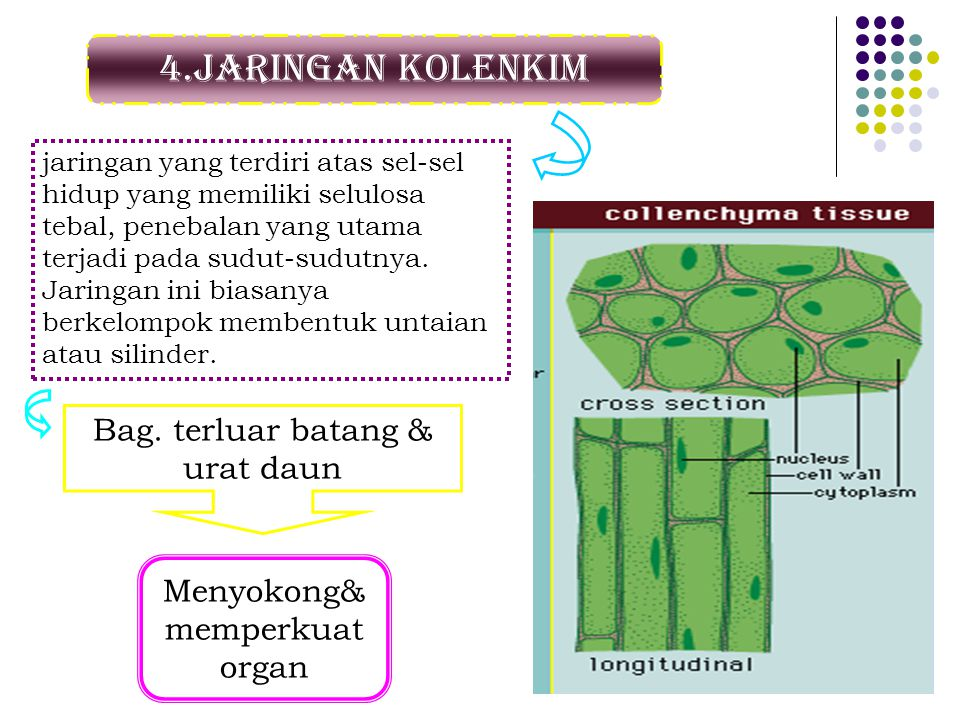 4.Jaringan kolenkim jaringan yang terdiri atas sel-sel hidup yang memiliki selulosa tebal, penebalan yang utama terjadi pada sudut-sudutnya. Jaringan
