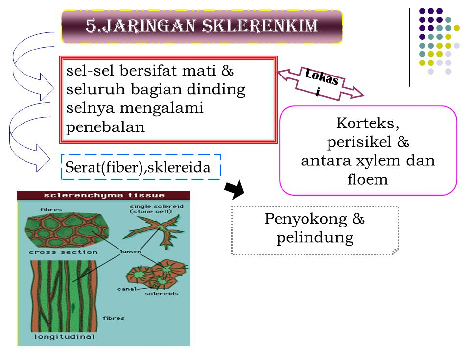 5.Jaringan sklerenkim sel-sel bersifat mati & seluruh bagian dinding selnya mengalami penebalan Lokas i Korteks, perisikel & antara xylem dan floem Serat(fiber),sklereida Penyokong & pelindung