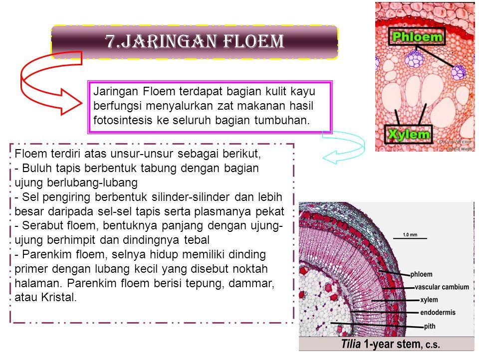 7.Jaringan floem Jaringan Floem terdapat bagian kulit kayu berfungsi menyalurkan zat makanan hasil fotosintesis ke seluruh bagian tumbuhan. Floem terd