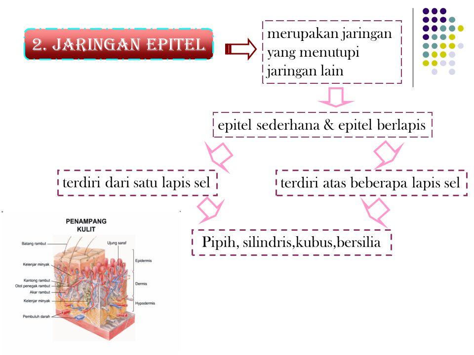 2. Jaringan epitel Pipih, silindris,kubus,bersilia merupakan jaringan yang menutupi jaringan lain epitel sederhana & epitel berlapis terdiri dari satu