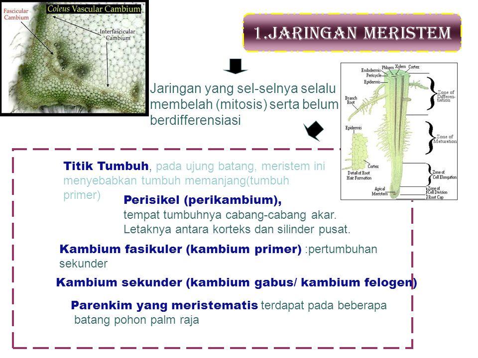 1.Jaringan Meristem Jaringan yang sel-selnya selalu membelah (mitosis) serta belum berdifferensiasi Perisikel (perikambium), tempat tumbuhnya cabang-c