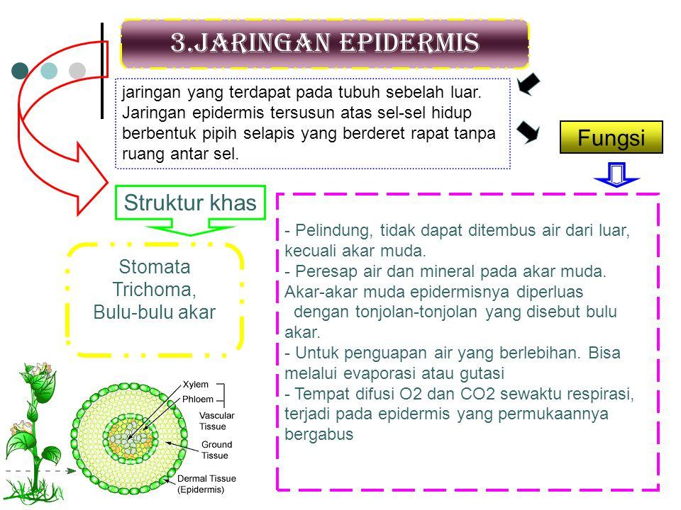 3.Jaringan epidermis jaringan yang terdapat pada tubuh sebelah luar. Jaringan epidermis tersusun atas sel-sel hidup berbentuk pipih selapis yang berde