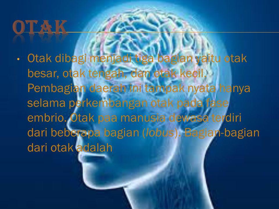 Otak dibagi menjadi tiga bagian yaitu otak besar, otak tengah, dan otak kecil.