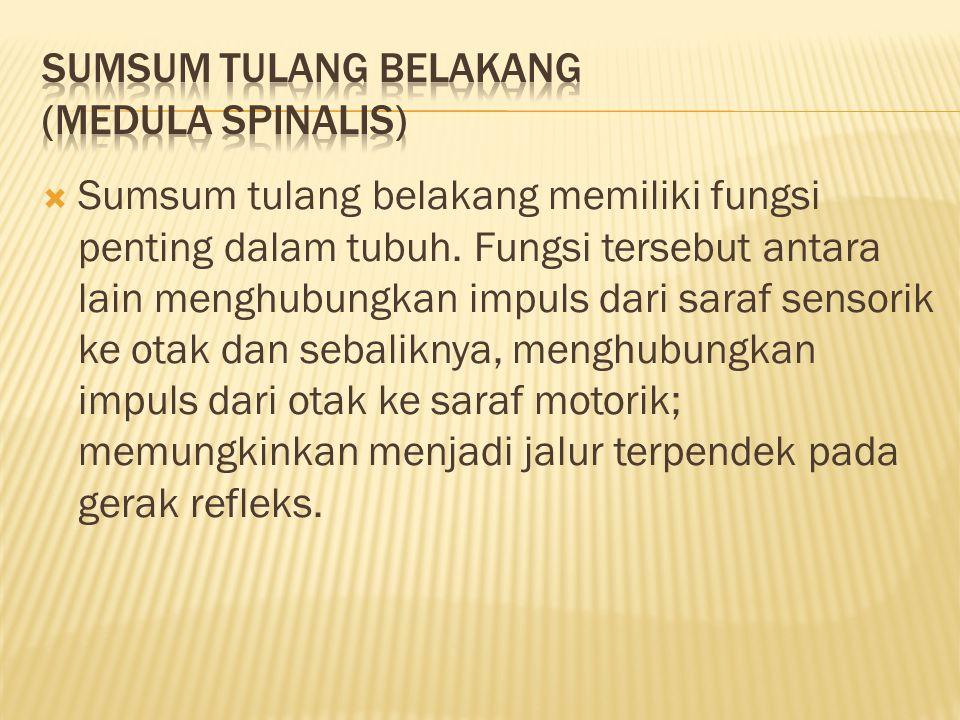  Sumsum tulang belakang memiliki fungsi penting dalam tubuh.