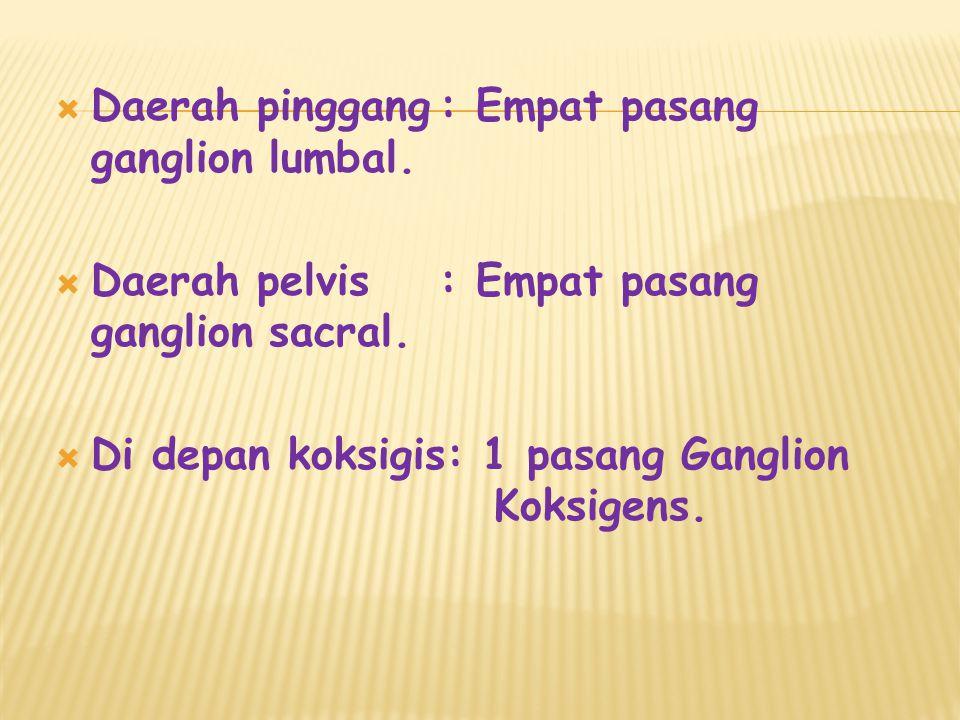  Daerah pinggang: Empat pasang ganglion lumbal. Daerah pelvis: Empat pasang ganglion sacral.
