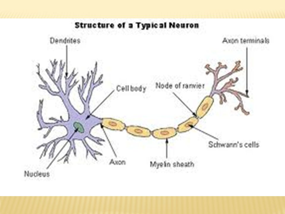 Badan sel merupakan bagian sel saraf yang mengandung nukleus (inti sel) dan tersusun pula sitoplasma yang bergranuler dengan warna kelabu.