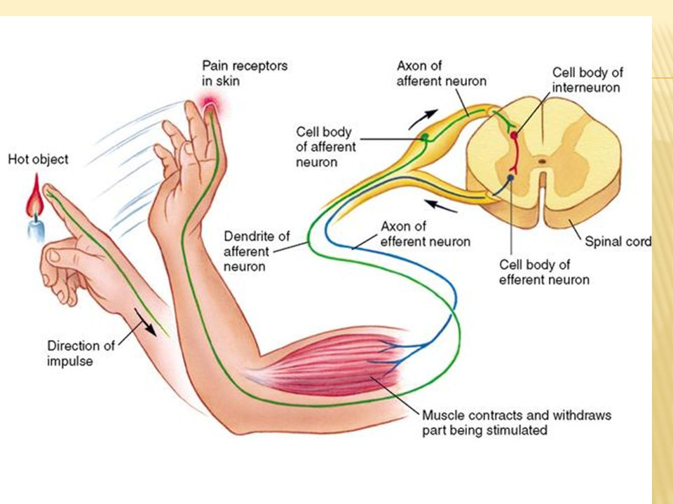  Mekanisme penghantaran impuls yang terjadi pada tulang belakang yakni sebagai berikut; rangsangan dari reseptor dibawa oleh neuron sensorik menuju sumsum tulang belakang melalui akar dorsal untuk diolah dan ditanggapi.