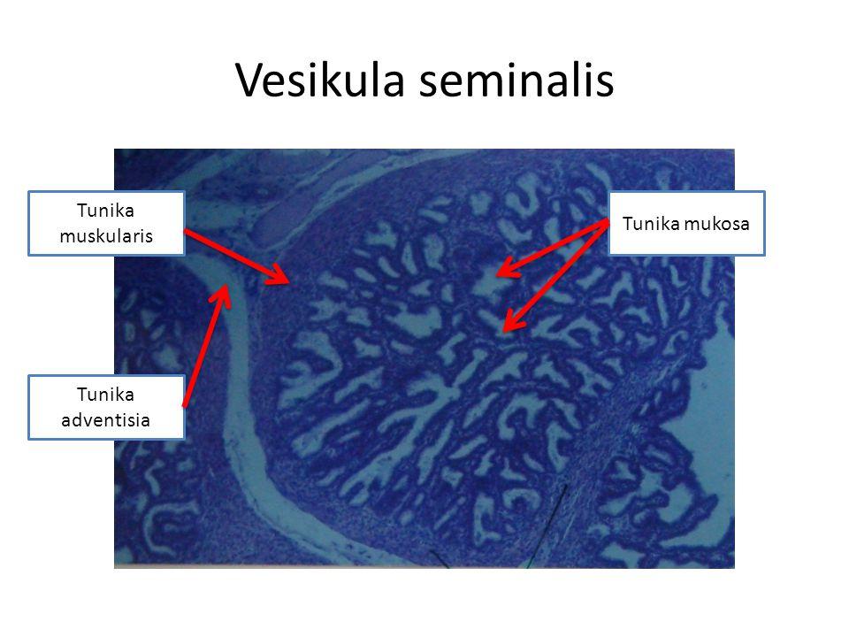 Vesikula Seminalis Berbentuk tubuler Tunika mukosa: sangat berlipat-lipat, epitel berlapis semu, mengandung pigmen lipokrom Tunika muskularis: lapisan sirkuler dalam yang tipis dan lapisan longitudinal luar yang lebih tebal Tunika adventisia: lapisan fibroelastik tipis