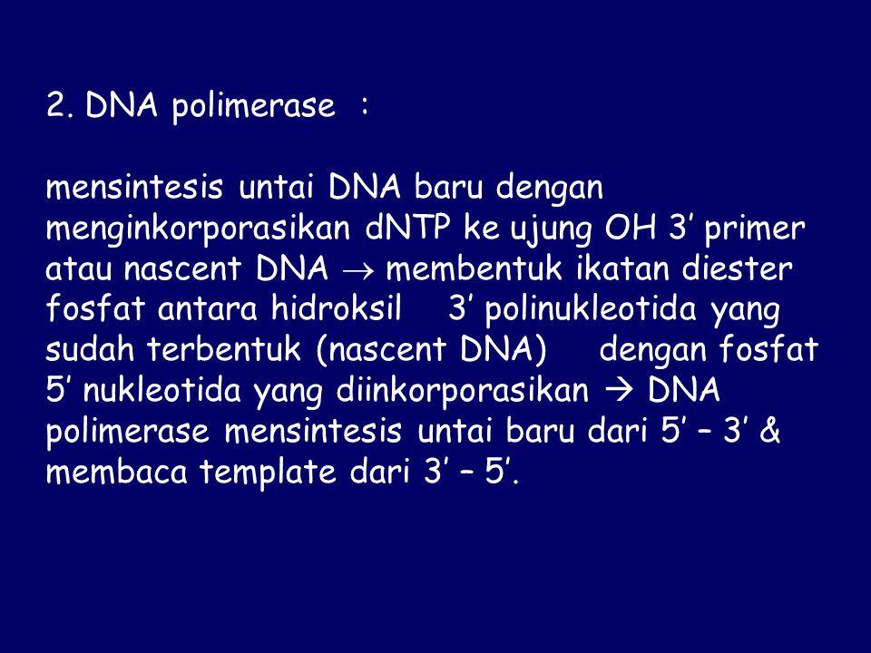 2. DNA polimerase : mensintesis untai DNA baru dengan menginkorporasikan dNTP ke ujung OH 3' primer atau nascent DNA  membentuk ikatan diester fosfat