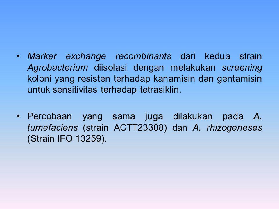 Marker exchange recombinants dari kedua strain Agrobacterium diisolasi dengan melakukan screening koloni yang resisten terhadap kanamisin dan gentamis