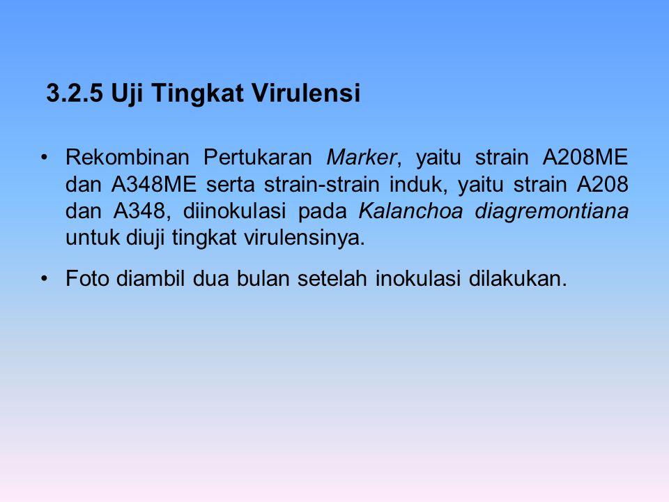 3.2.5 Uji Tingkat Virulensi Rekombinan Pertukaran Marker, yaitu strain A208ME dan A348ME serta strain-strain induk, yaitu strain A208 dan A348, diinok