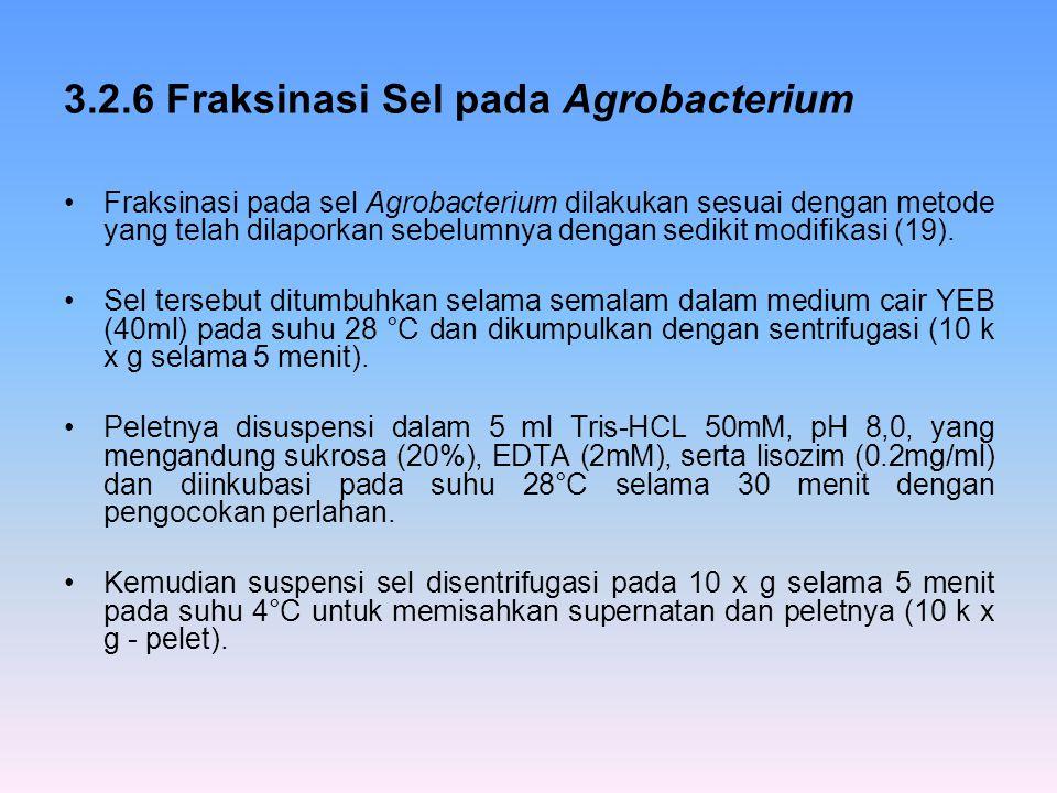 3.2.6 Fraksinasi Sel pada Agrobacterium Fraksinasi pada sel Agrobacterium dilakukan sesuai dengan metode yang telah dilaporkan sebelumnya dengan sedik