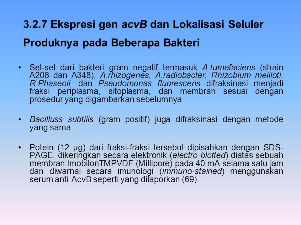 3.2.7 Ekspresi gen acvB dan Lokalisasi Seluler Produknya pada Beberapa Bakteri Sel-sel dari bakteri gram negatif termasuk A.tumefaciens (strain A208 d