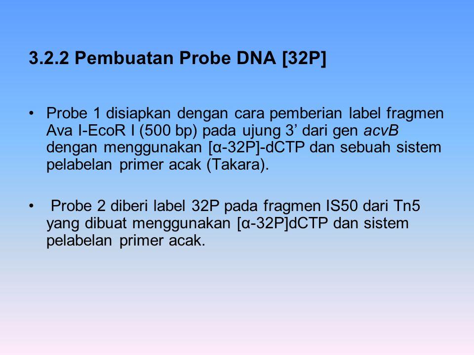3.2.2 Pembuatan Probe DNA [32P] Probe 1 disiapkan dengan cara pemberian label fragmen Ava I-EcoR I (500 bp) pada ujung 3' dari gen acvB dengan menggun