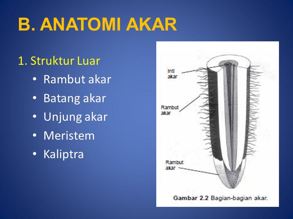 B. ANATOMI AKAR 1. Struktur Luar Rambut akar Batang akar Unjung akar Meristem Kaliptra