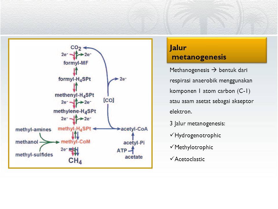 Jalur metanogenesis Methanogenesis  bentuk dari respirasi anaerobik menggunakan komponen 1 atom carbon (C-1) atau asam asetat sebagai akseptor elektr