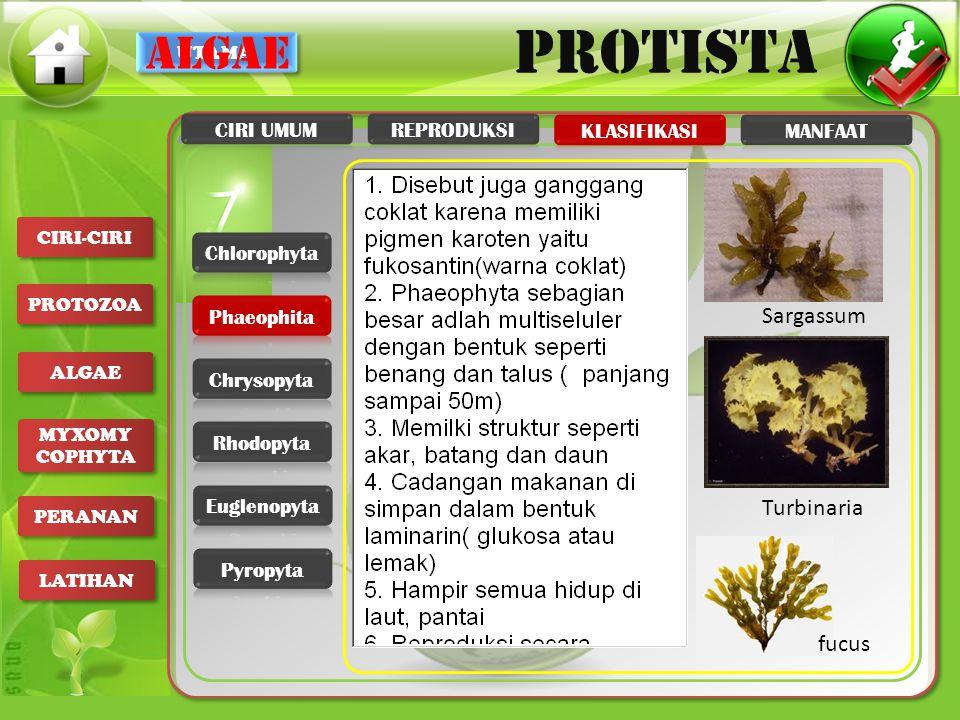 UTAMA PROTISTA CIRI-CIRI PROTOZOA ALGAE MYXOMY COPHYTA MYXOMY COPHYTA PERANAN LATIHAN algae Turbinaria Sargassum fucus