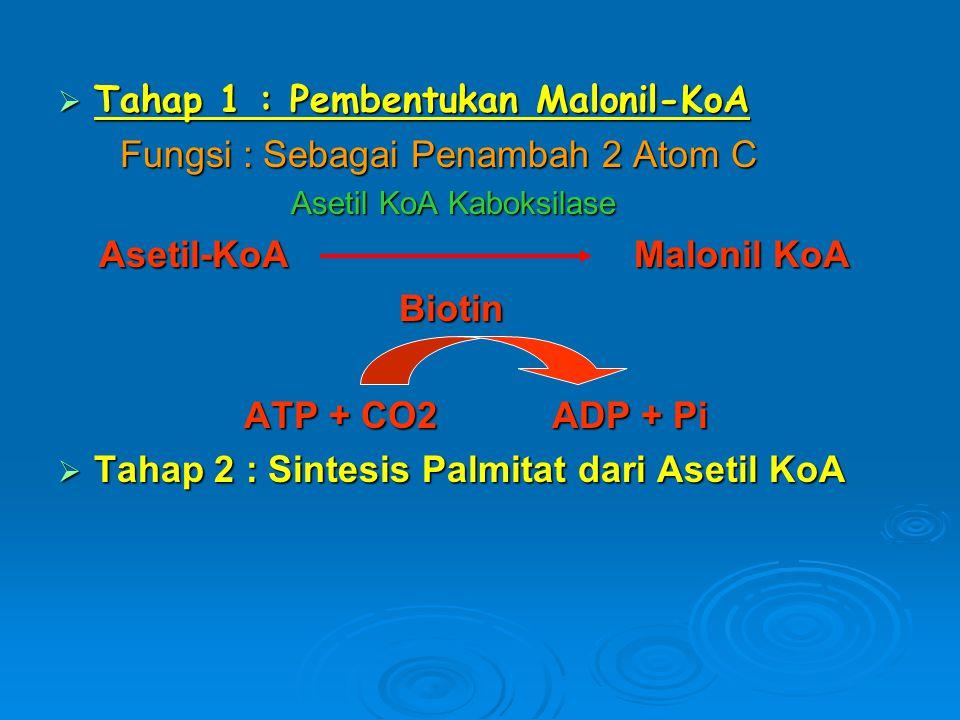  Tahap 1 : Pembentukan Malonil-KoA Fungsi : Sebagai Penambah 2 Atom C Fungsi : Sebagai Penambah 2 Atom C Asetil KoA Kaboksilase Asetil KoA Kaboksilas